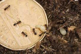 carpenter ants extermination pest control of bed bugs fleas and