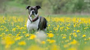 youwall dog in flowers field wallpaper wallpaper wallpapers