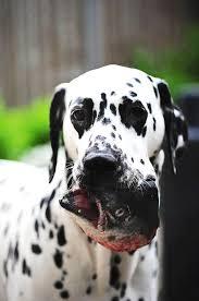 52 dalmatian dog fine art prints jenny rainbow images