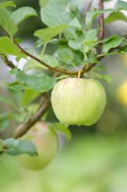 422 best green apples images on pinterest orchards apple farm
