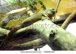 big lizard stock images royalty free images u0026 vectors shutterstock