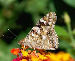 file butterfly august 2008 3 jpg wikipedia