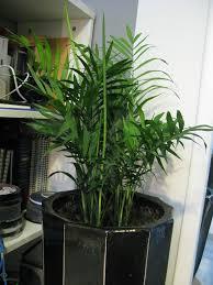 areca palm plants u2013 how to grow areca palm houseplant