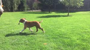 belgian shepherd for sale south africa eldorado american staffordshire terrier puppy for sale euro puppy