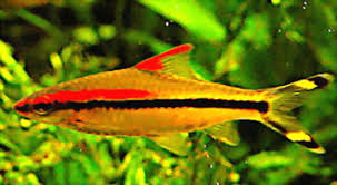live tropical fish ornamental fish puntius denisonii terpedo