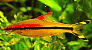 Buy Ornamental Fish Live Tropical Fish Ornamental Fish Puntius Denisonii Terpedo