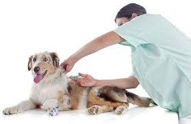 australian shepherd 8 stunden alleine australian shepherd impfungen was muss ich wirklich impfen lassen