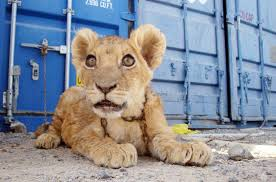 lions for sale lion cubs up for sale gulfnews