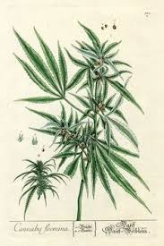 marijuana art drawings weed plants drawings young cannabis plant