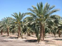 palms for palm sunday purchase medjool date palm