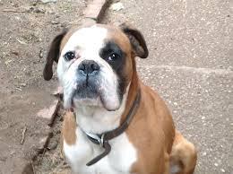 1 year old boxer dog male boxer dog nottingham nottinghamshire pets4homes