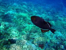 hawaii reef life identification page