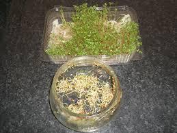 the cyprus garden blog indoor gardening sprouting seeds cress