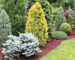 sneak preview of a conifer garden on an american conifer society