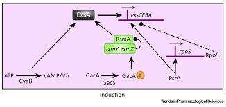 targeting the type three secretion system in pseudomonas