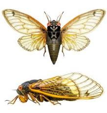 scientific illustration cicada u2013 google search tattoo