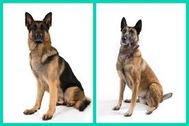 belgian shepherd vs doberman 6 dog breed look alikes can you tell which is which american