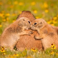 Oklahoma wildlife images Black tailed prairie dogs wichita mountains wildlife refuge jpg