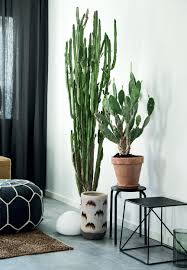 beautiful cactus plants in the living room easy to grow and care