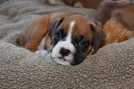 feeding a boxer dog pet first aid awareness month u2013 choking pro pet hero blog