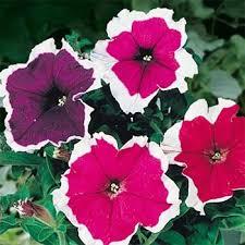 petunia flowers petunia multiflora seed picotee petunia flower seeds mix