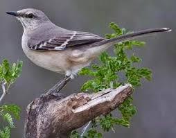 Florida Backyard Birds - 96 best mockingbirds images on pinterest beautiful birds