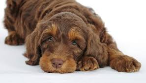 100 Ginger Doodle Puppy Puppies Labradoodle Goldendoodle