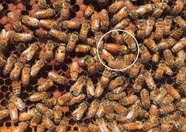 how arizona backyard beekeepers are rehabilitating africanized