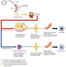 Relex Arc Autonomic Reflexes And Homeostasis