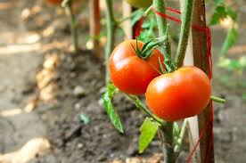 top 10 tomato growing tips fruit and vegetable gardening
