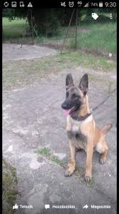 belgian shepherd 2 months sale 11 month old male belgian malinois romford essex pets4homes