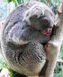 Angry Koala Meme - wet angry koala bear best bear 2018