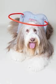 bearded collie montreal november 2016 magazine dogs today magazine