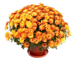 chrysanthemums and cats chrysanthemums and dogs poisonous plants