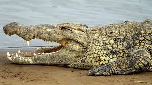 crocodile wallpaper hd download jpg 1920 1080 dieren 01