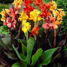 canna lilies meadow valley 3 mixed color tropical canna mix