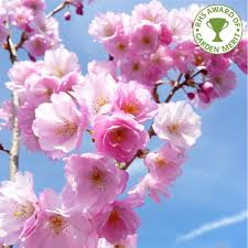 prunus accolade buy flowering cherry blossom trees