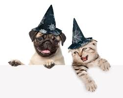 halloween white background wallpaper bulldog cats dogs 2 halloween winter hat animals white