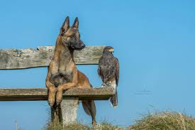 belgian shepherd stuffed animal a belgian malinois and an owl formed an unlikely friendship pics