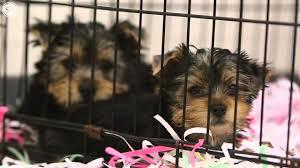 yorkshire terriers taken from u0027back yard breeding u0027 operation youtube