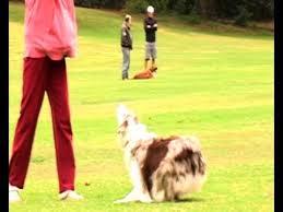 australian shepherd funny funny dog video australian shepherd plays football aka soccer