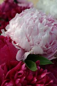 wholesale peonies 28 best farm to florist peonies images on cut flowers