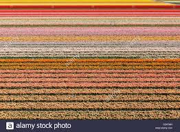 dutch tulip fields in full bloom near the keukenhof flower garden