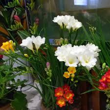 freesia flower hot selling white freesia seeds freesia flower pot garden