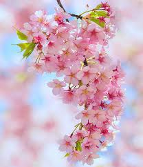 cherry blossom tree facts bunch of spring blossom trees cherry blossoms and cherries