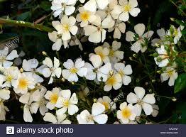 white climbing rose stock photos u0026 white climbing rose stock