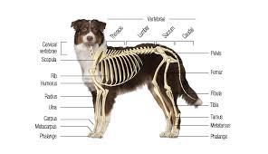 Dog Body Parts Anatomy Canine Skeletal System Boneo Canine