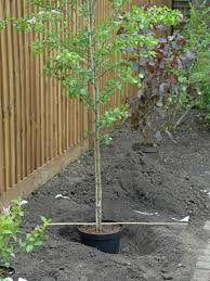 how to plant container grown trees how to plant a tree hgtv