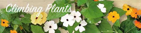 Morning Glory Climbing Plant - buy climbing plants online bakker com