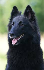 belgian shepherd breeds belgian shepherd tervuren known for their versatility loyalty